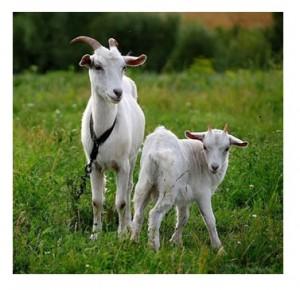 Бизнес. Разведение коз.