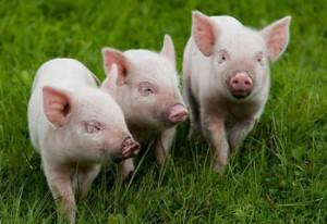 Бизнес. Разведение свиней.