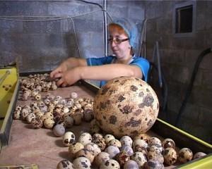Бизнес идея перепелиной фермы