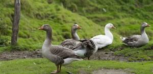 Бизнес план разведение гусей