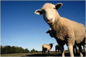 Бизнес план разведения овец