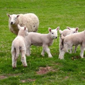 Бизнес идея разведения овец романовской породы