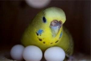 Бизнес идея разведения попугаев