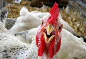 Бизнес-план птицефабрики