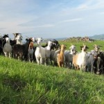 Бизнес идея по разведению коз