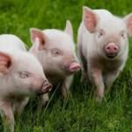 Организовываем бизнес на разведении свиней