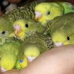 Бизнес на разведении попугаев